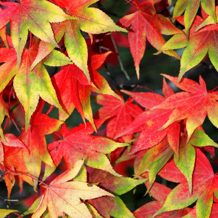 Colourful leaves turning from pale green to a vibrant red