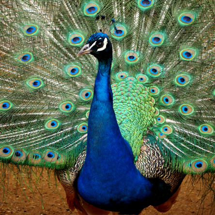 Male peacock with feathers on full show
