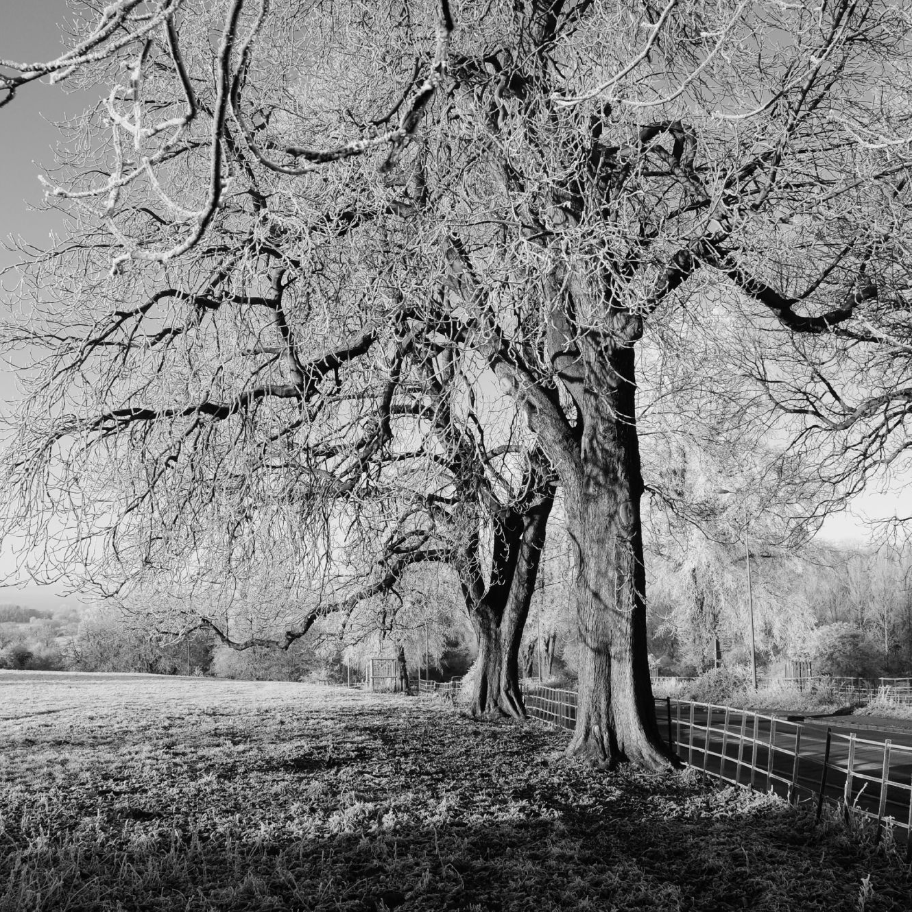 Black and White picture of two trees with no leaves in the middle of a field
