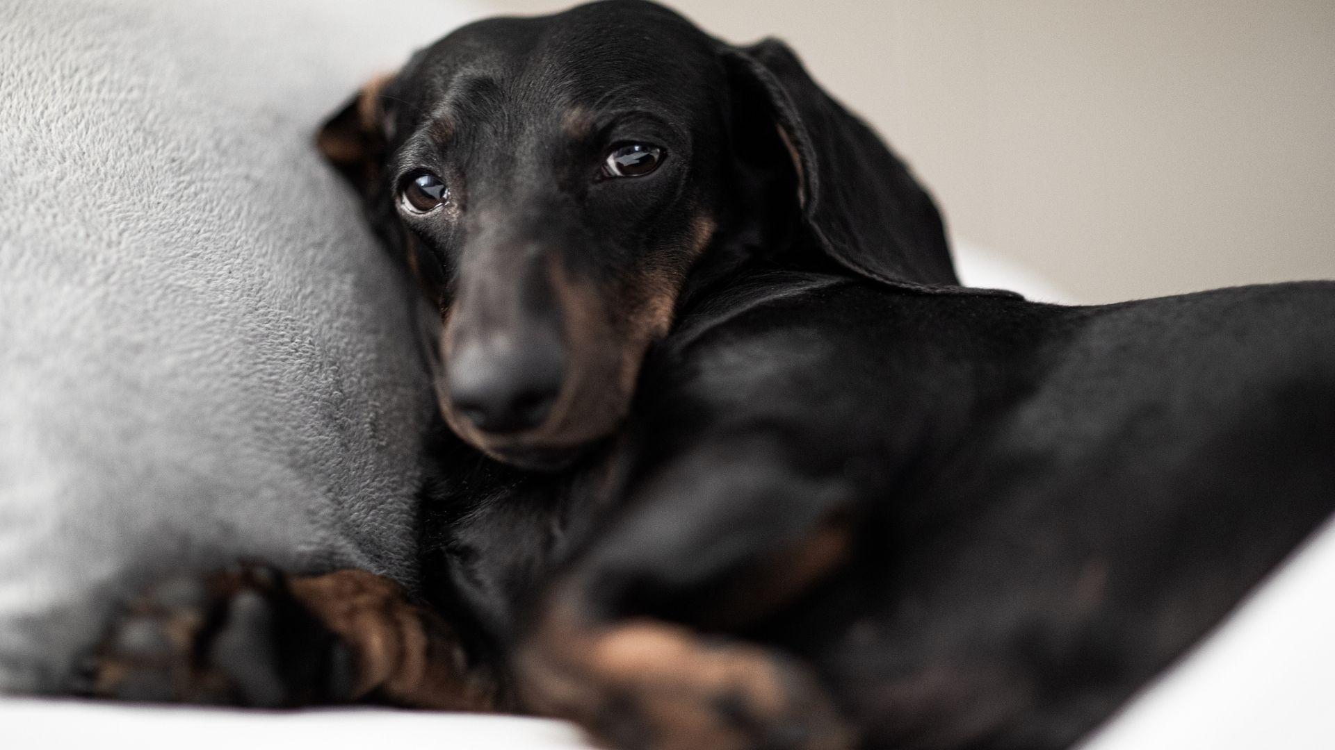 ibuprofen for dog pain
