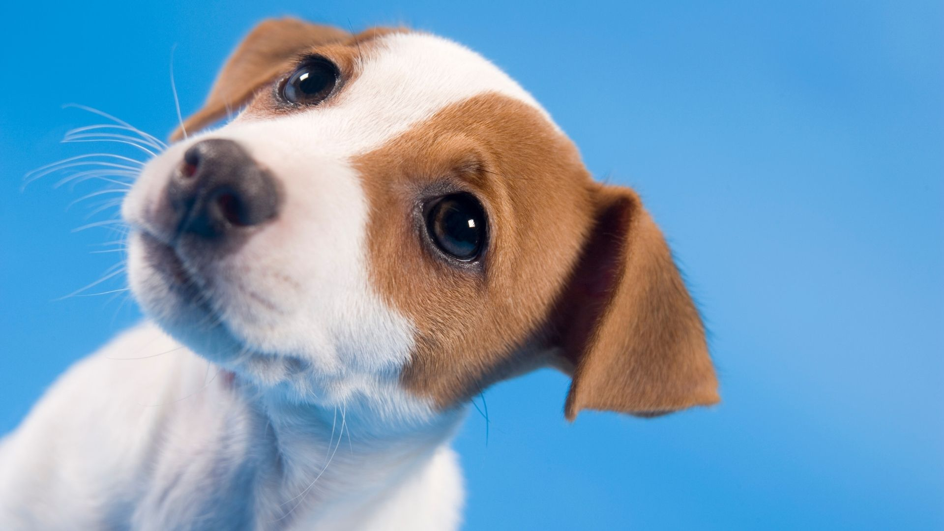 Using tea tree oil for dogs can be dangerous because tea tree oil can cause liver and neurological damage to dogs if it is...