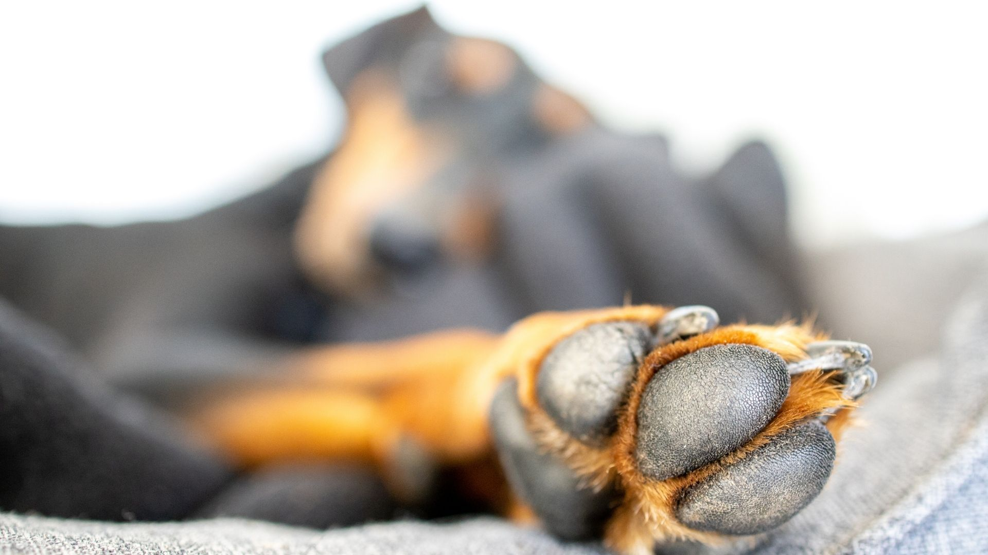 The best way to prevent blisters on dog paws are to keep your dog's pads moisturized, keep the dog from walking on hot roads, and...