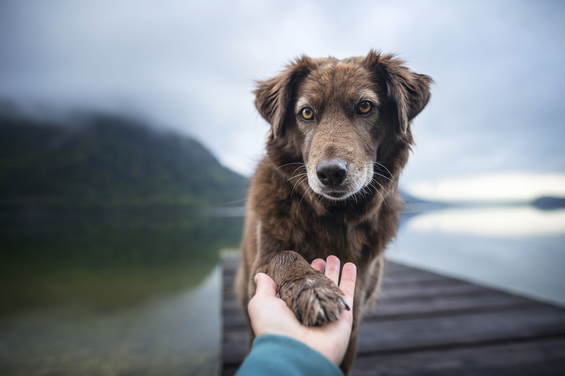 If you experience panic attacks or other symptoms of anxiety, an emotional support animal can help. Find out more about emotional support dogs for anxiety.