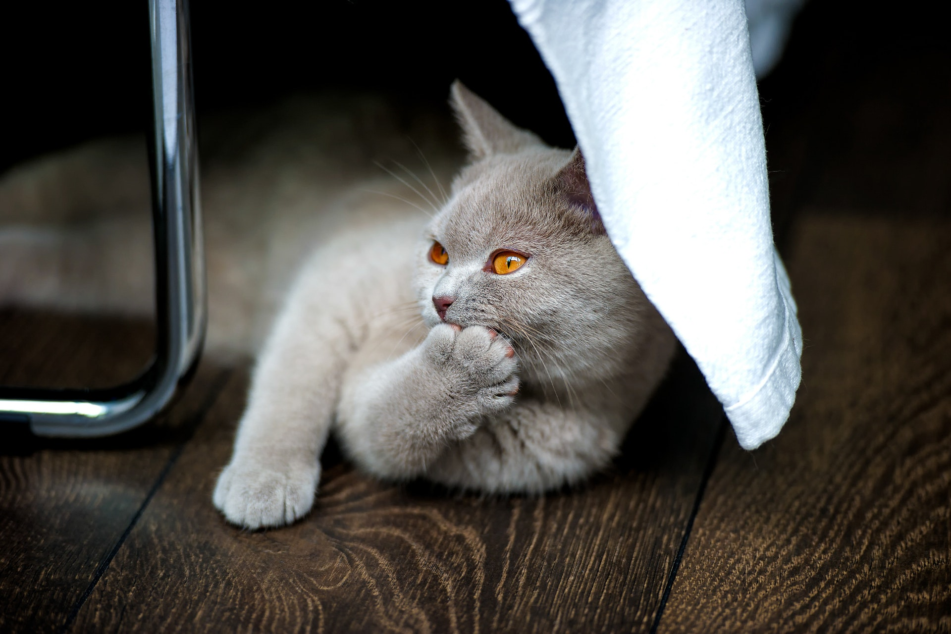 How do I get Rid of Lice on Cats?