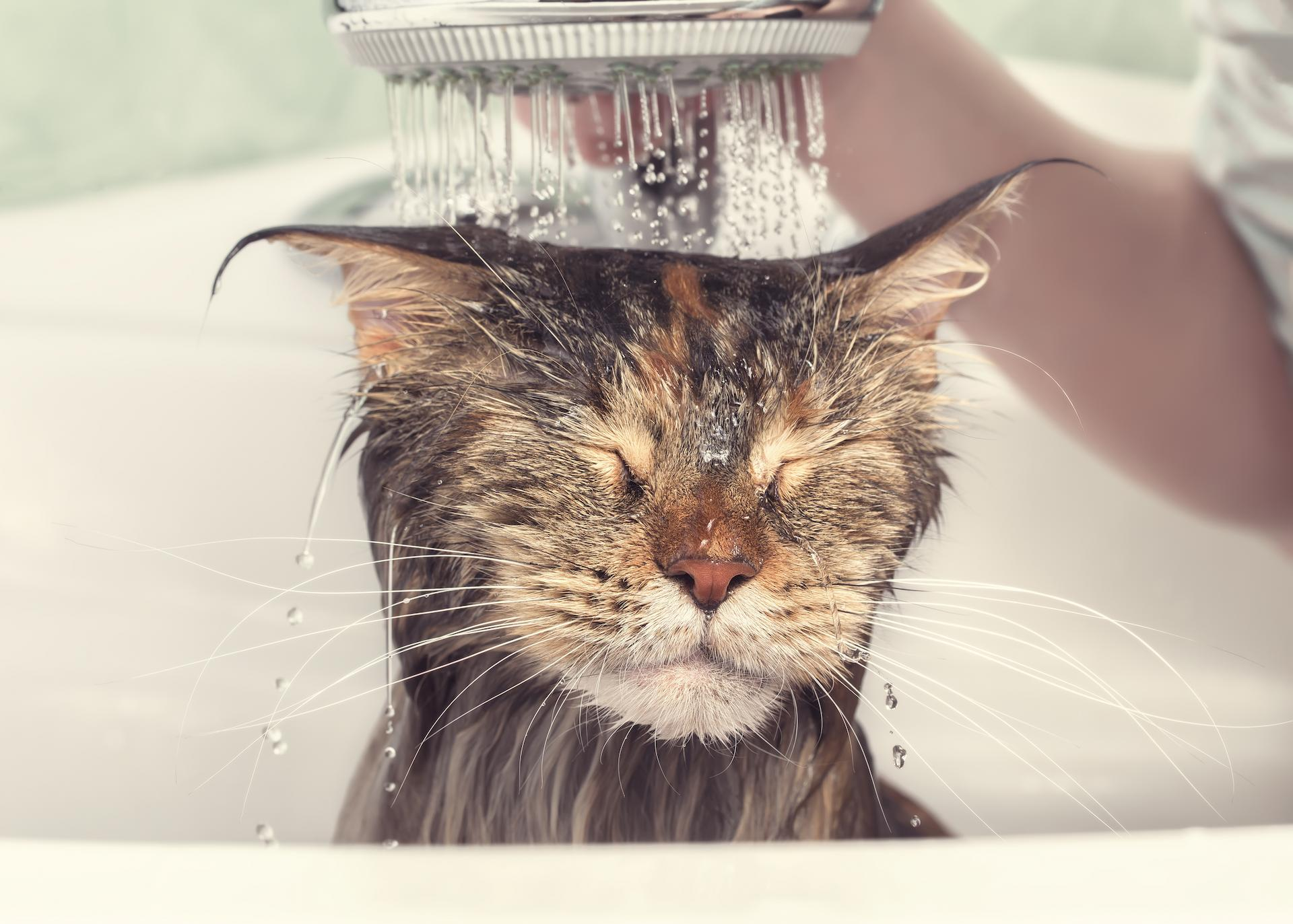 lice on cats