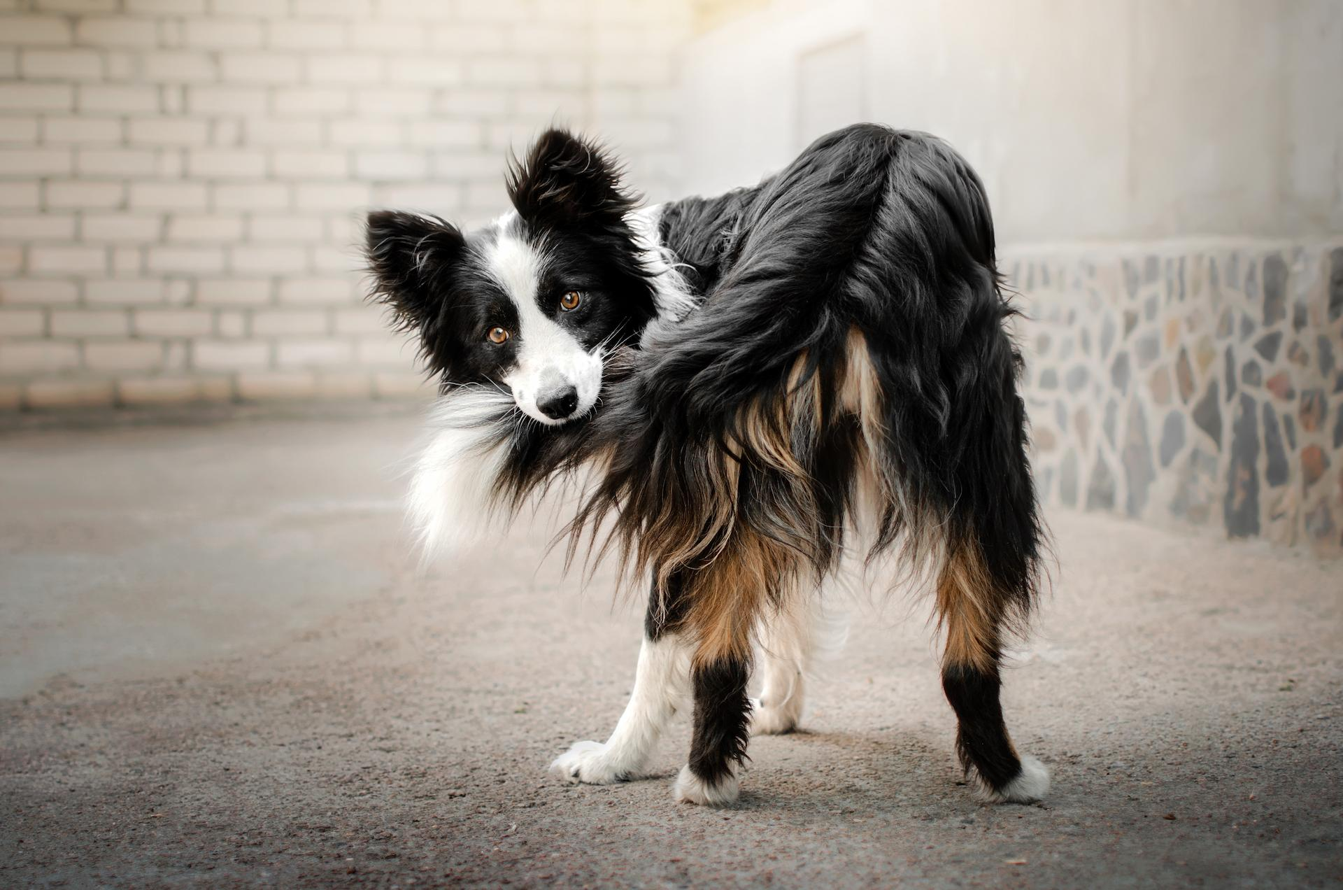 Dogs wag their tails to provide social cues and to express their feelings. If a dog is wagging its tail in an upright fashion...