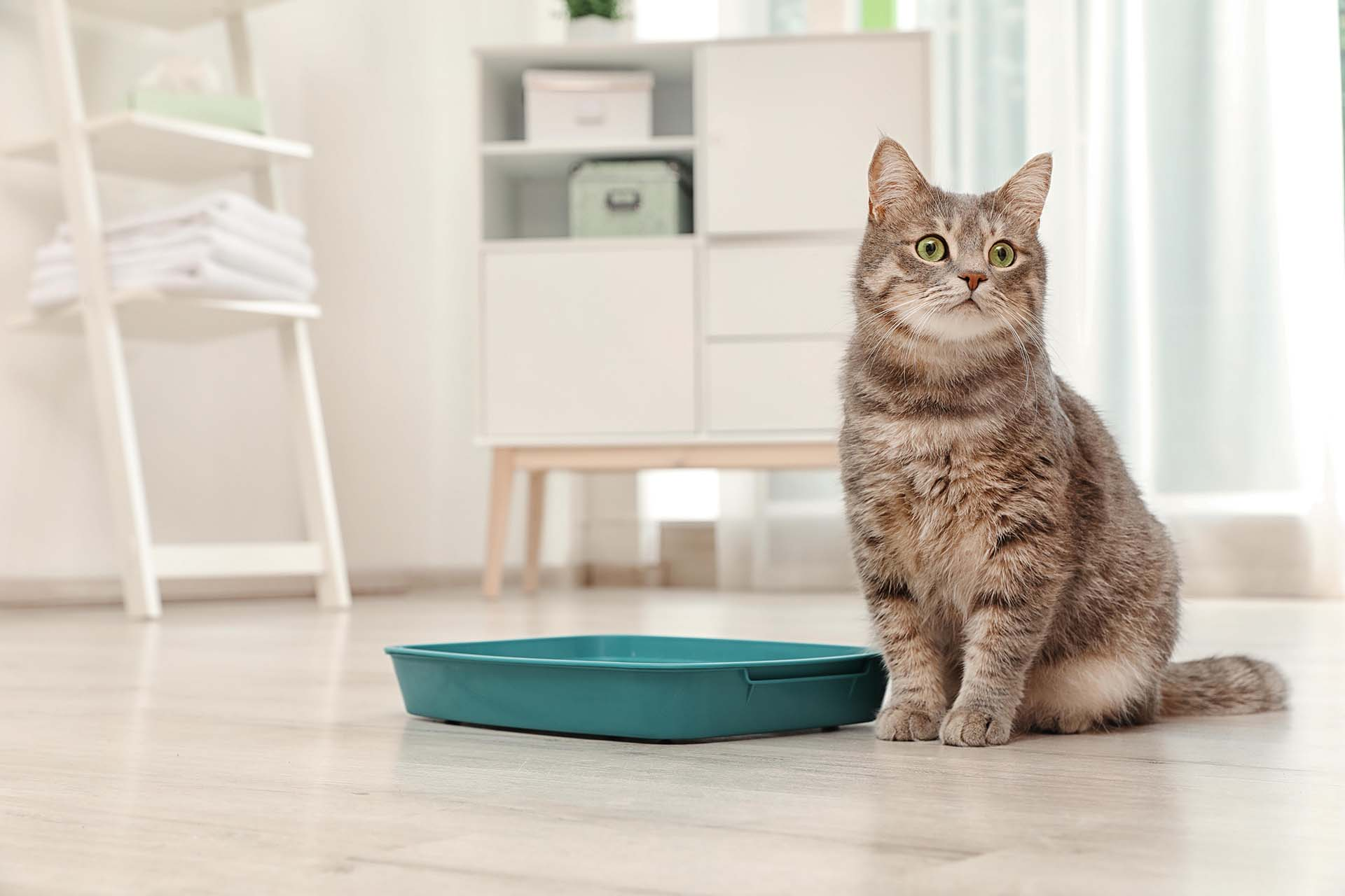 Why is my Cat Eating Kitty Litter?