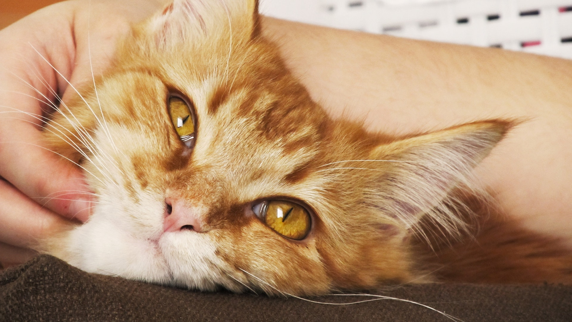 What Is Buprenorphine for Cats?
