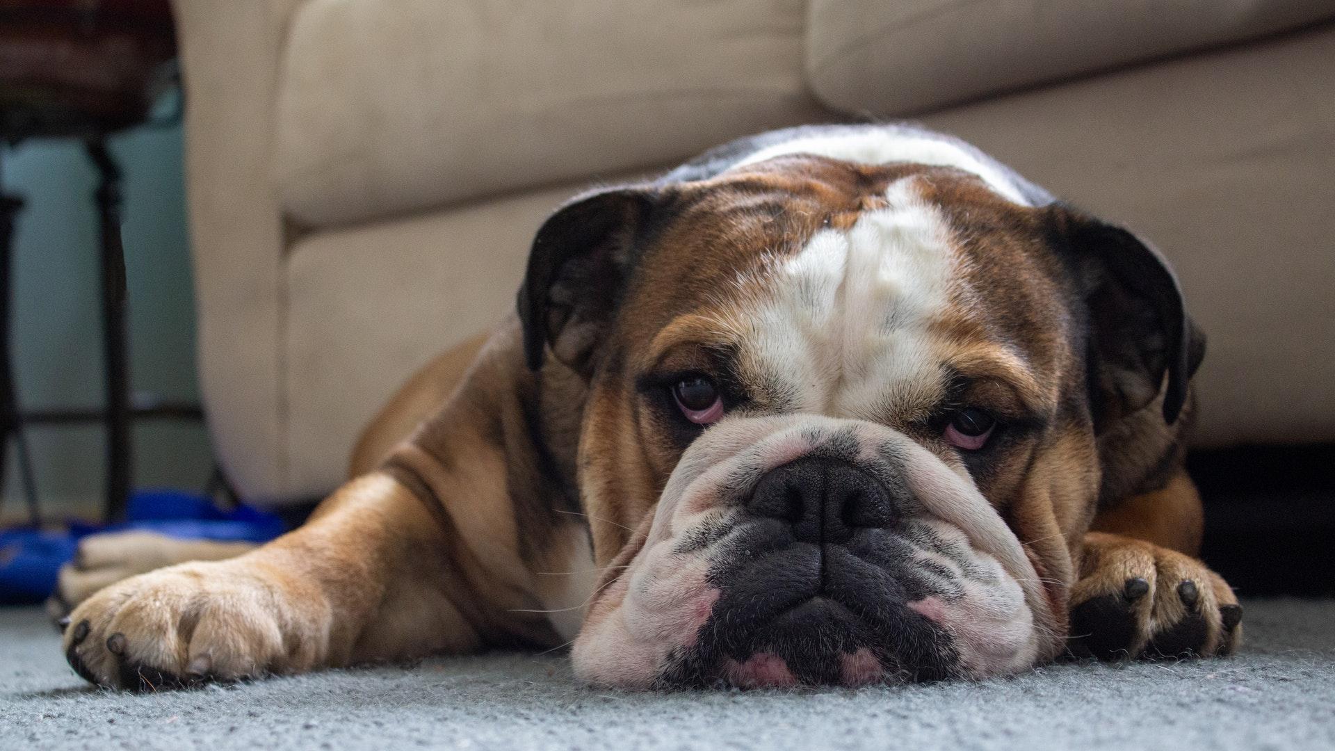 bulldog snorting