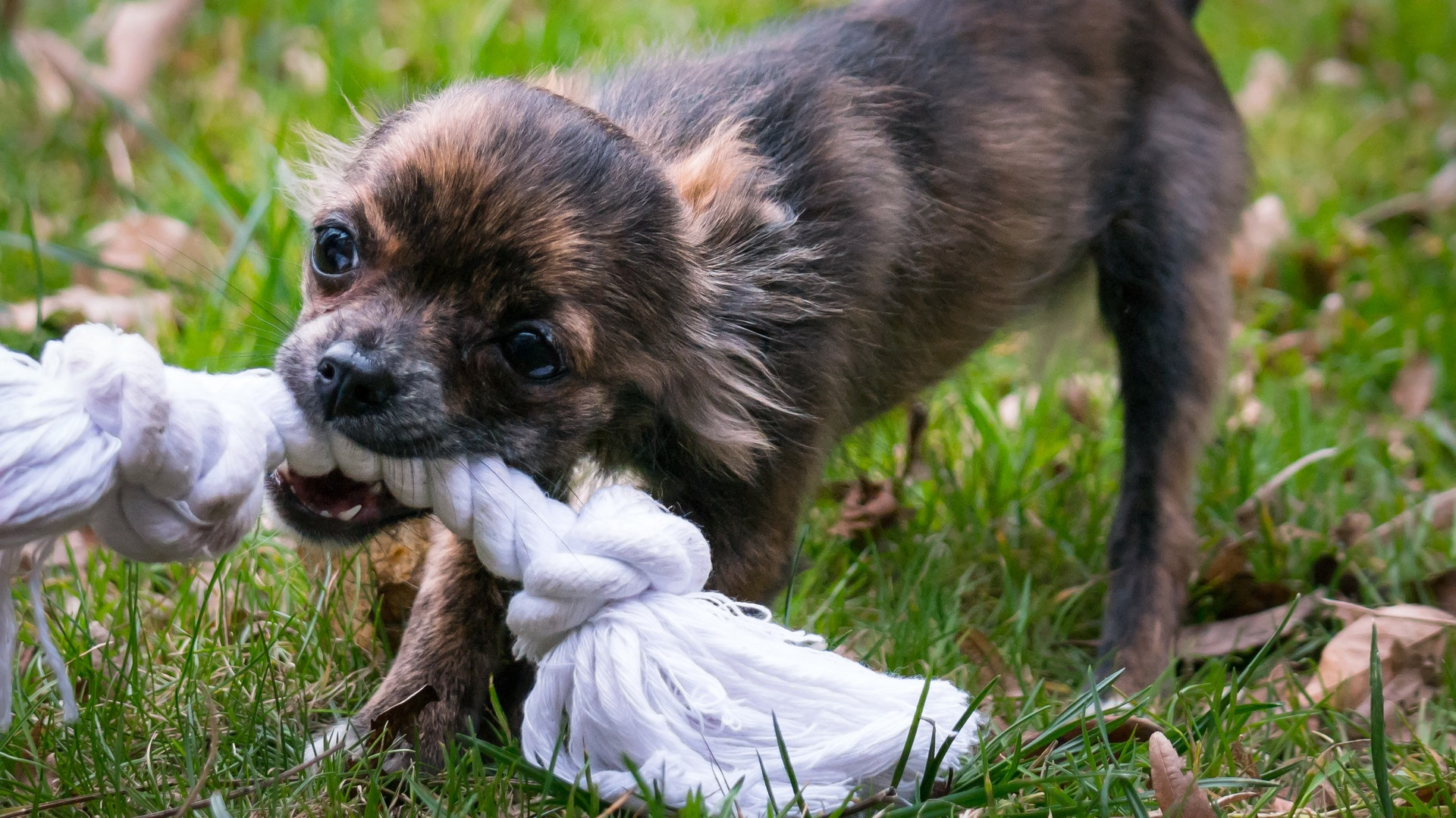 dog chewing a toy