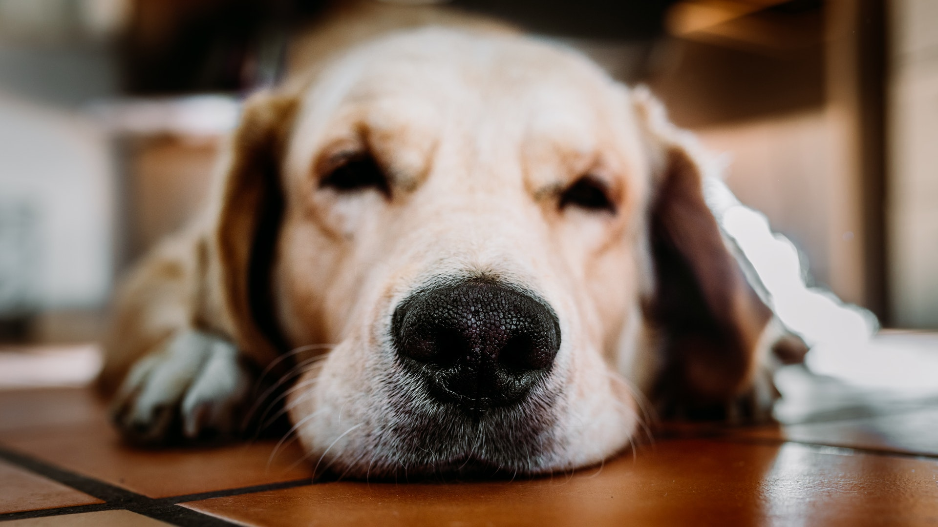 Dogs have cold, wet noses as part of their body cooling system and because they lick their noses. Dogs' noses may also be wet...