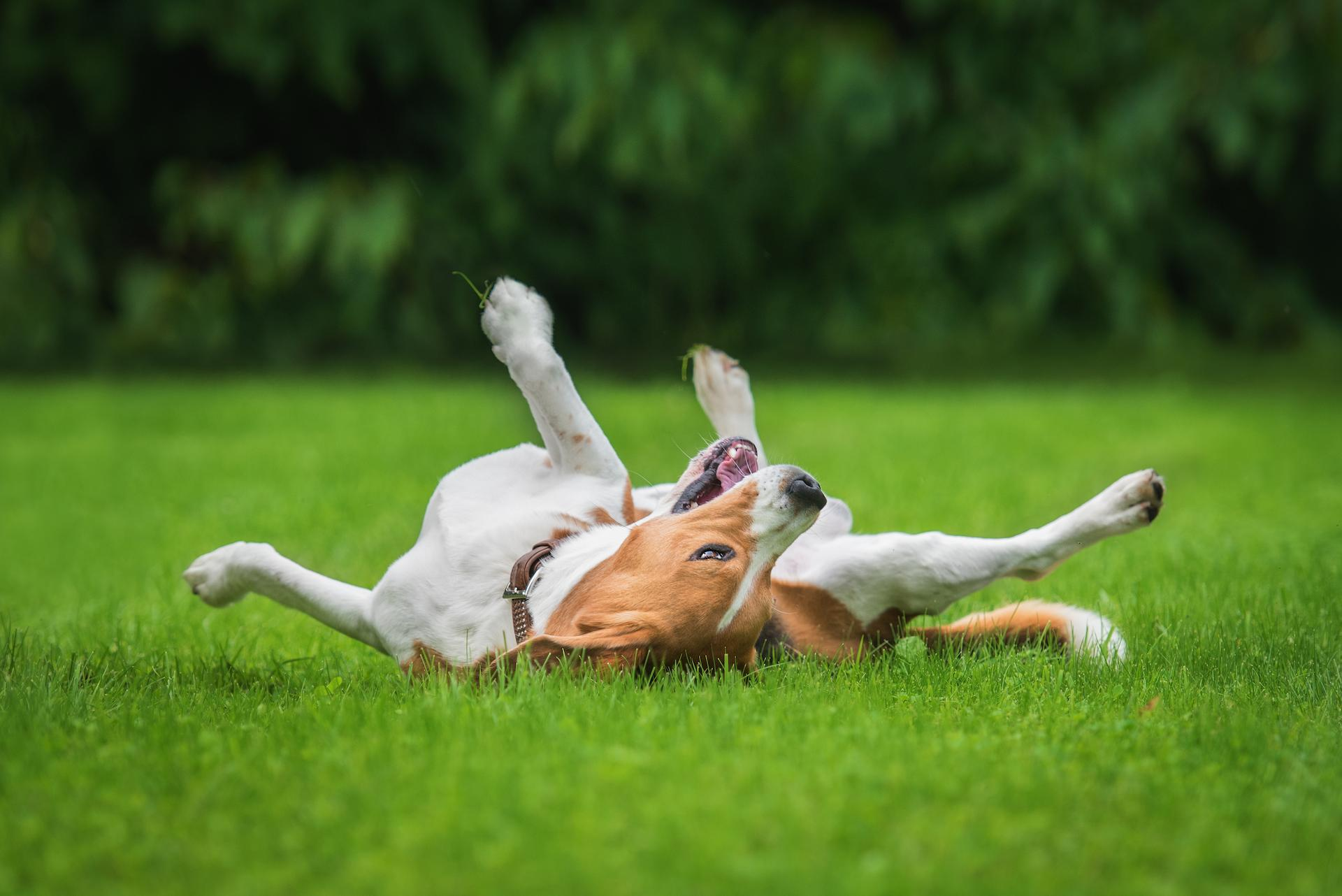Dog hives are round, itchy welts on a dog's skin that causes the fur to stick up. Though most cases of dog hives are caused by...