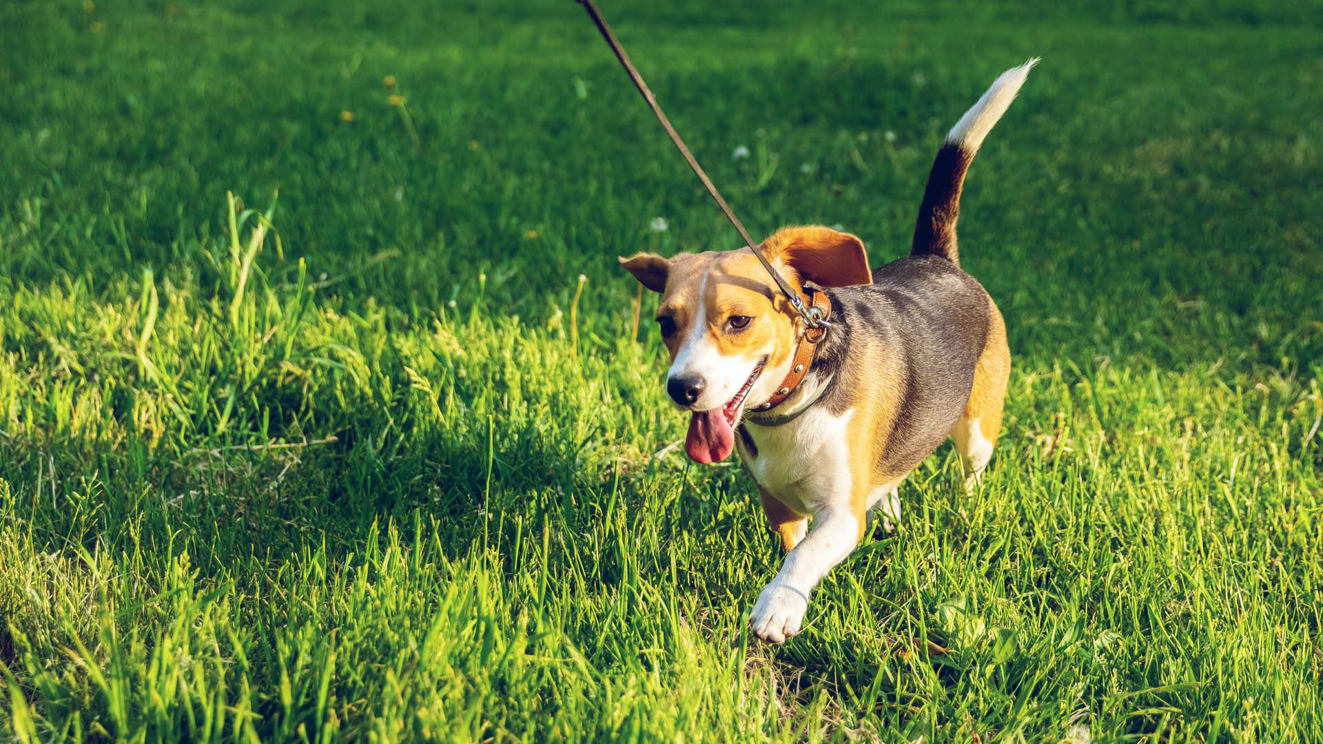 How much exercise a dog needs often depends on the breed of dog. For example, Jack Russell Terriers need a lot of exercise, but...