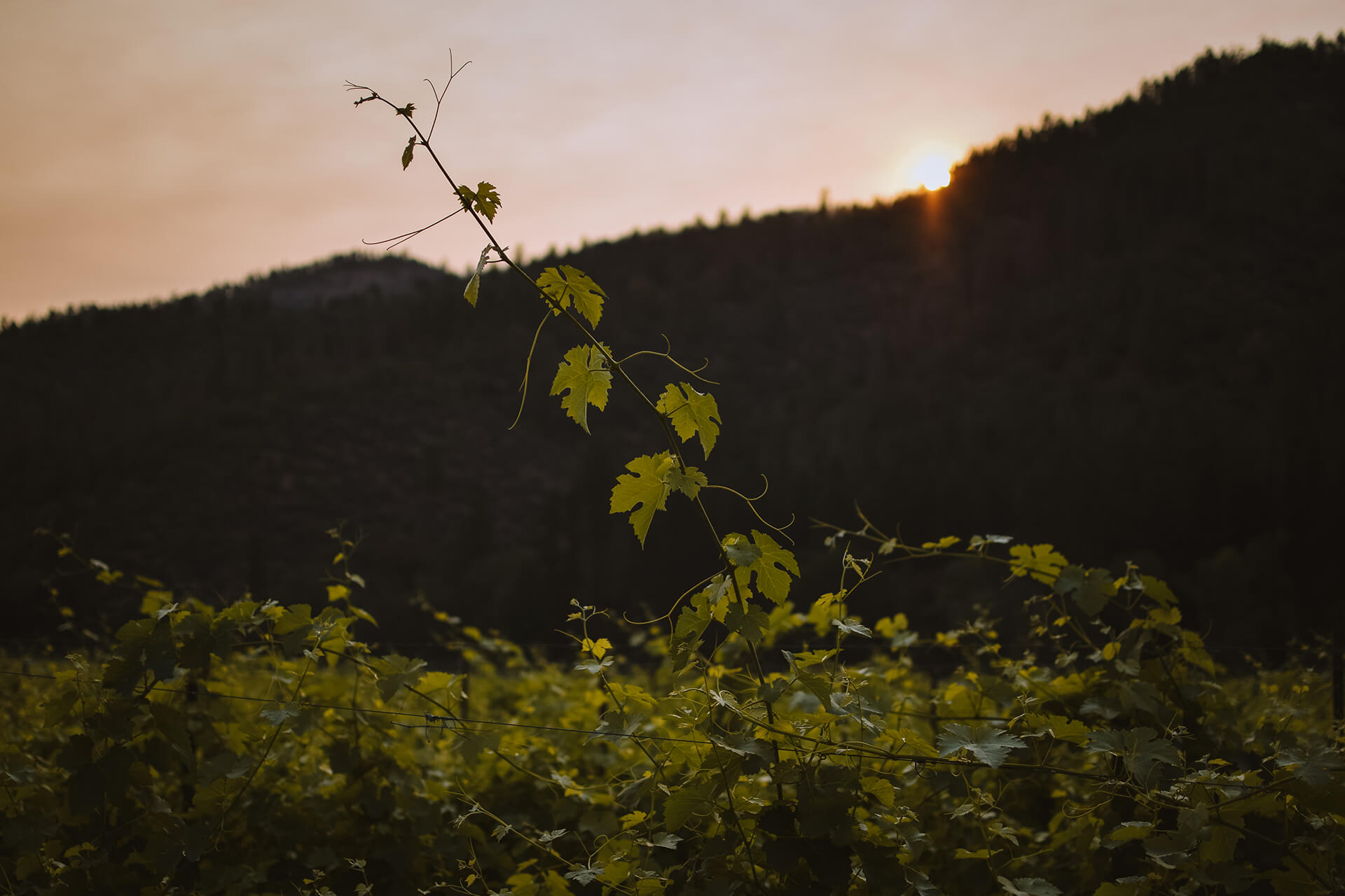 A stray grapevine growing above the vineyard rows at Cowhorn winery