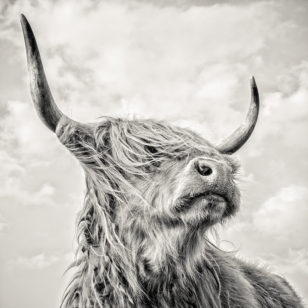 The black and white highland cow used in the logo for Wheyward Spirit