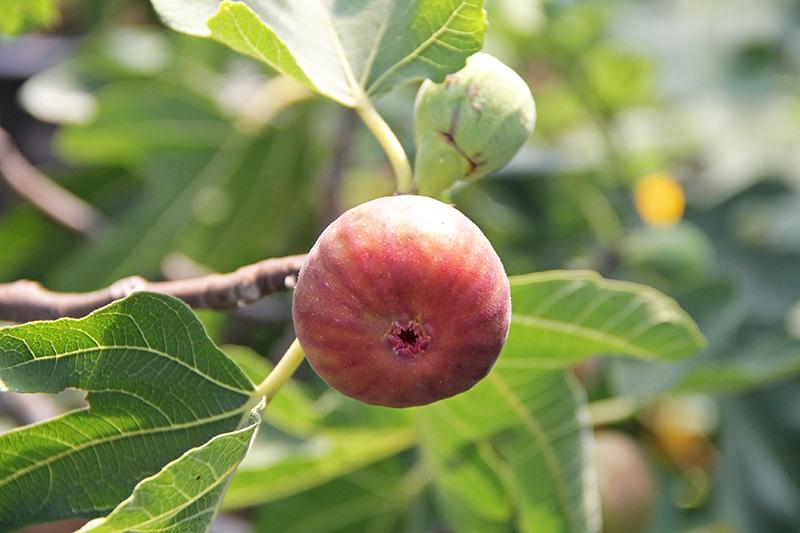 Fresh fig in a tree