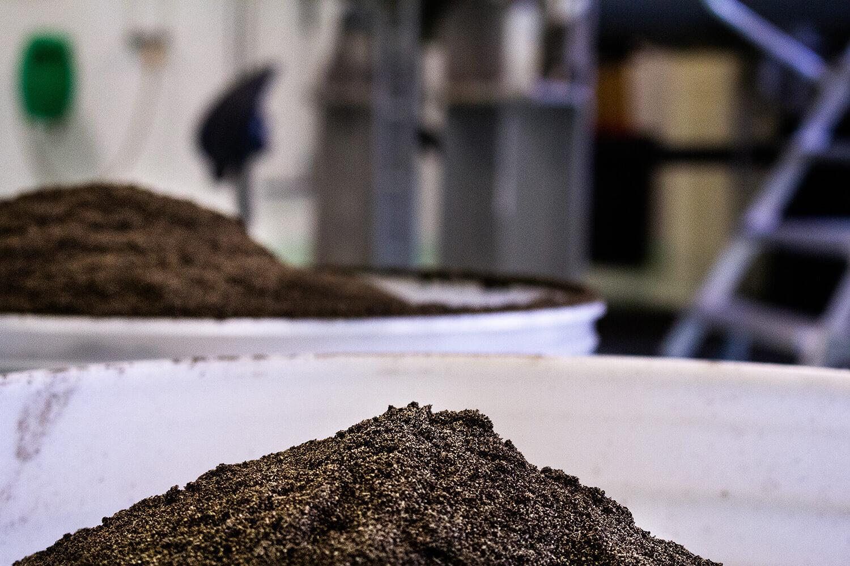 Bild på snus i tillverkningsstadiet