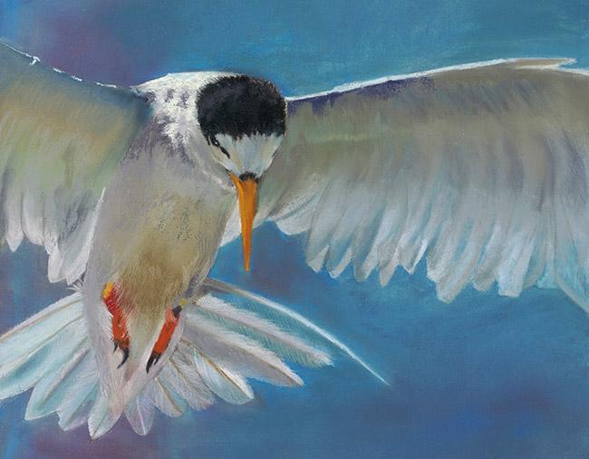 New Zealand Tern Sea Bird looking for its meal Karen Gourley Art