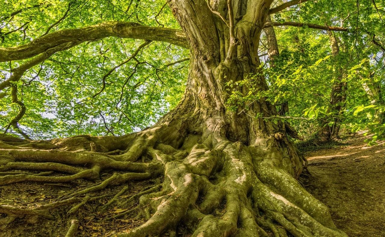 Alte Eiche als Abbildung von Forums Nachhaltigkeit und Langzeitkeit