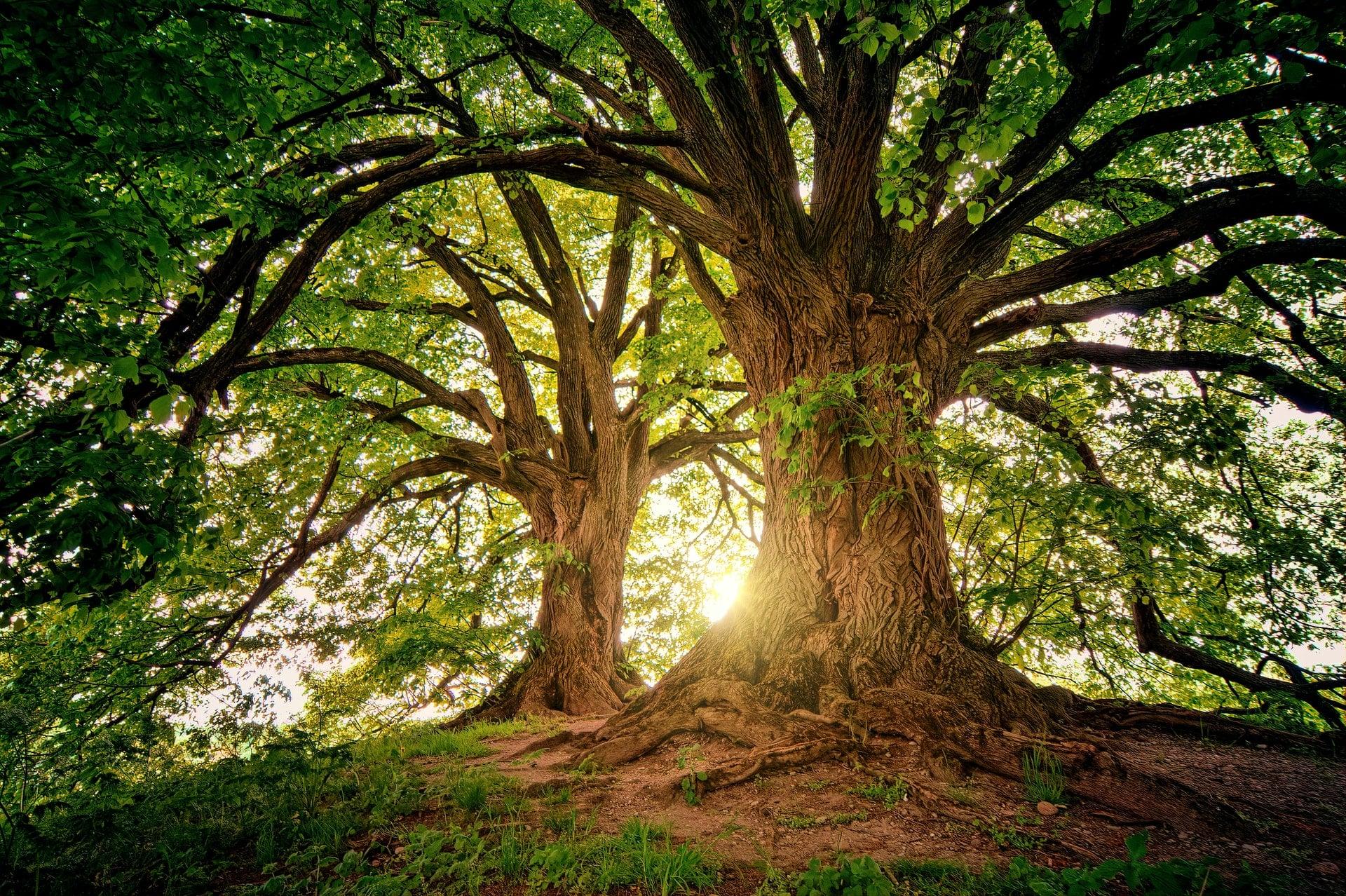 Baum im Wald um Langzeitigkeit, Permanenz und Nachhaltigkeit von Forum Family Office auszudrücken