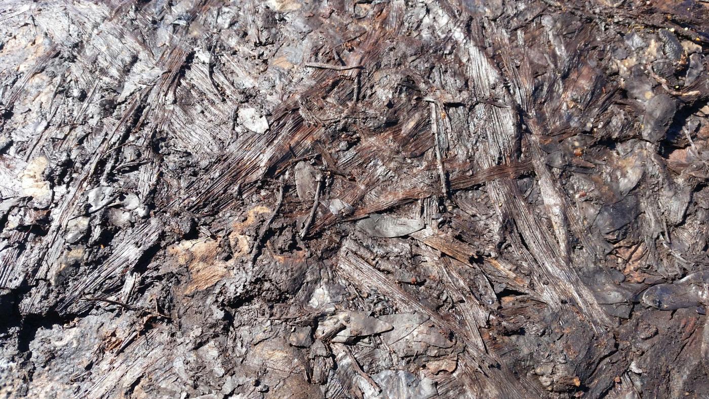Blätter vom neuseeländischen tausendjährigen Kauri Bäumen