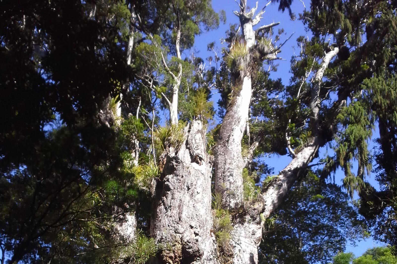 Riesiger uralter Kauri Baum aus Neuseeland, exklusive Massivholztische und Esstische aus alten außergewöhnlichen Hölzern