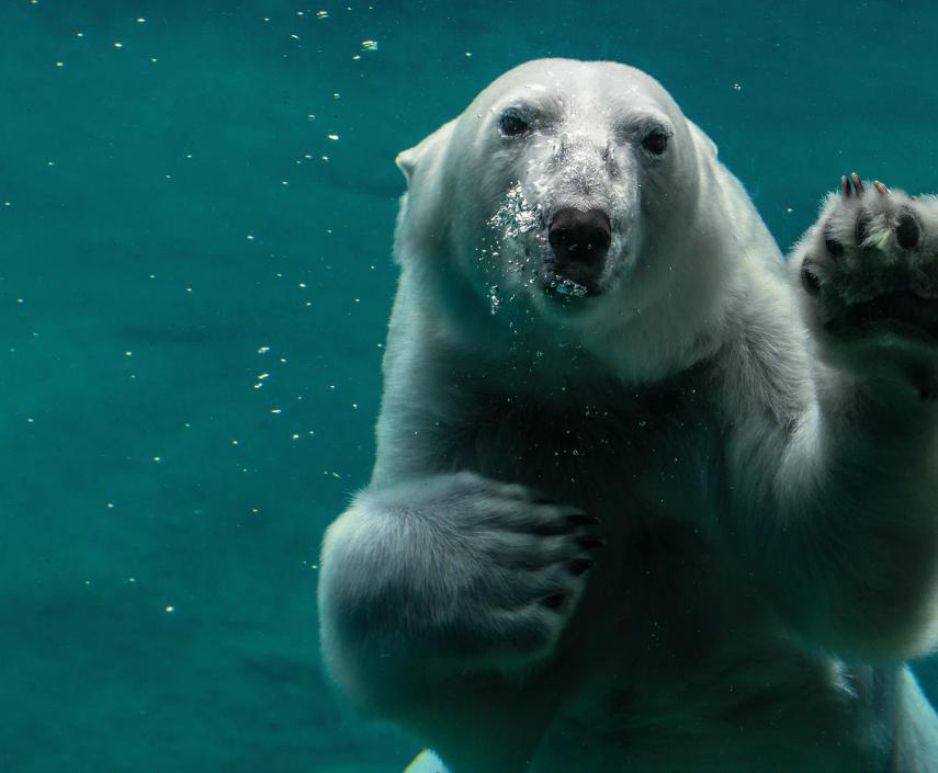 Polar bear floating in blue water