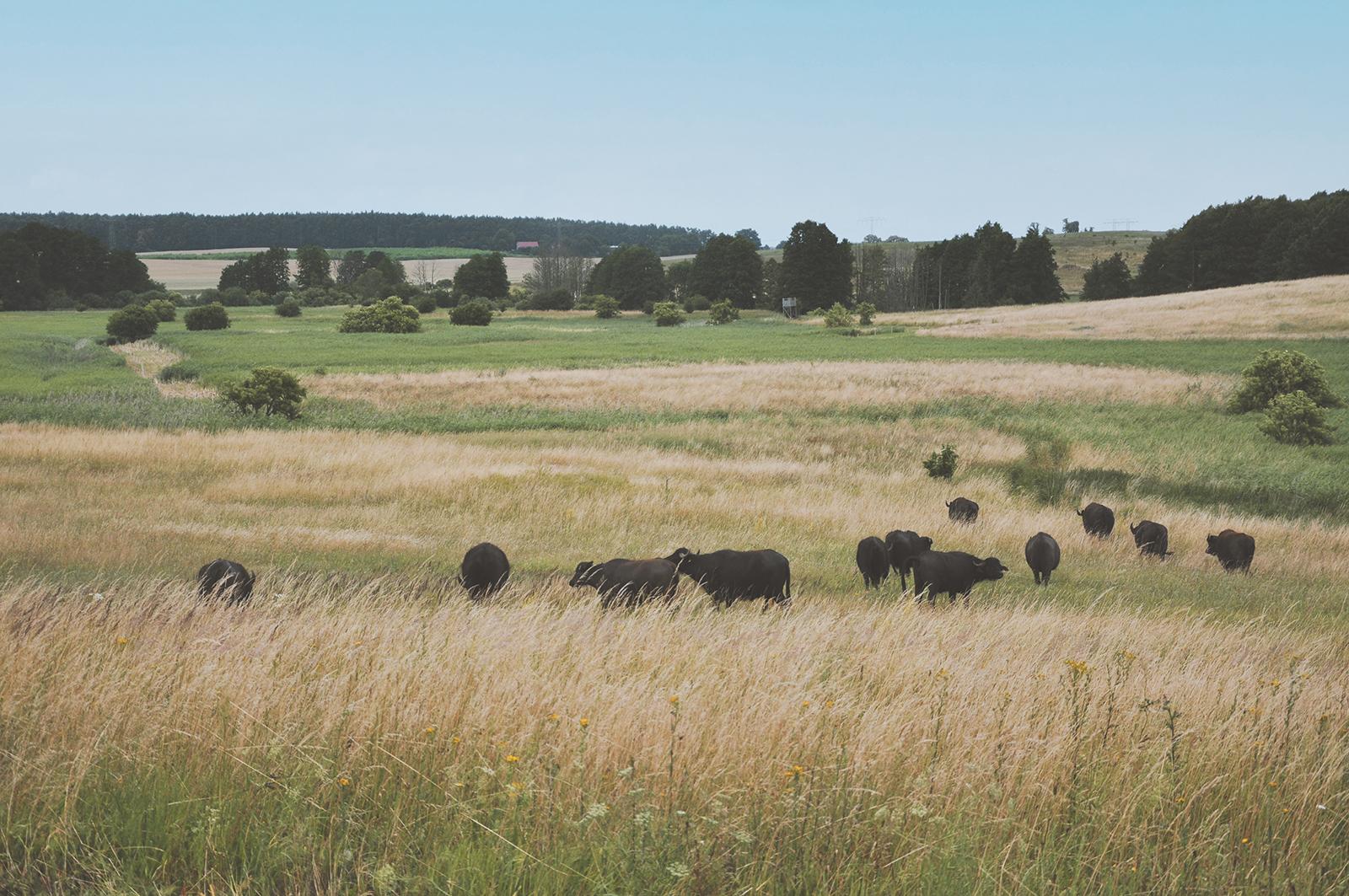 Eine Herde Wasserbüffel in der Sernitzniederung