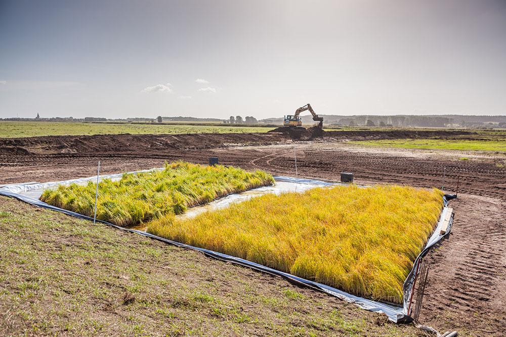Rohrkolbenanbau als Beispiel der Paludikultur in der Sernitzniederung