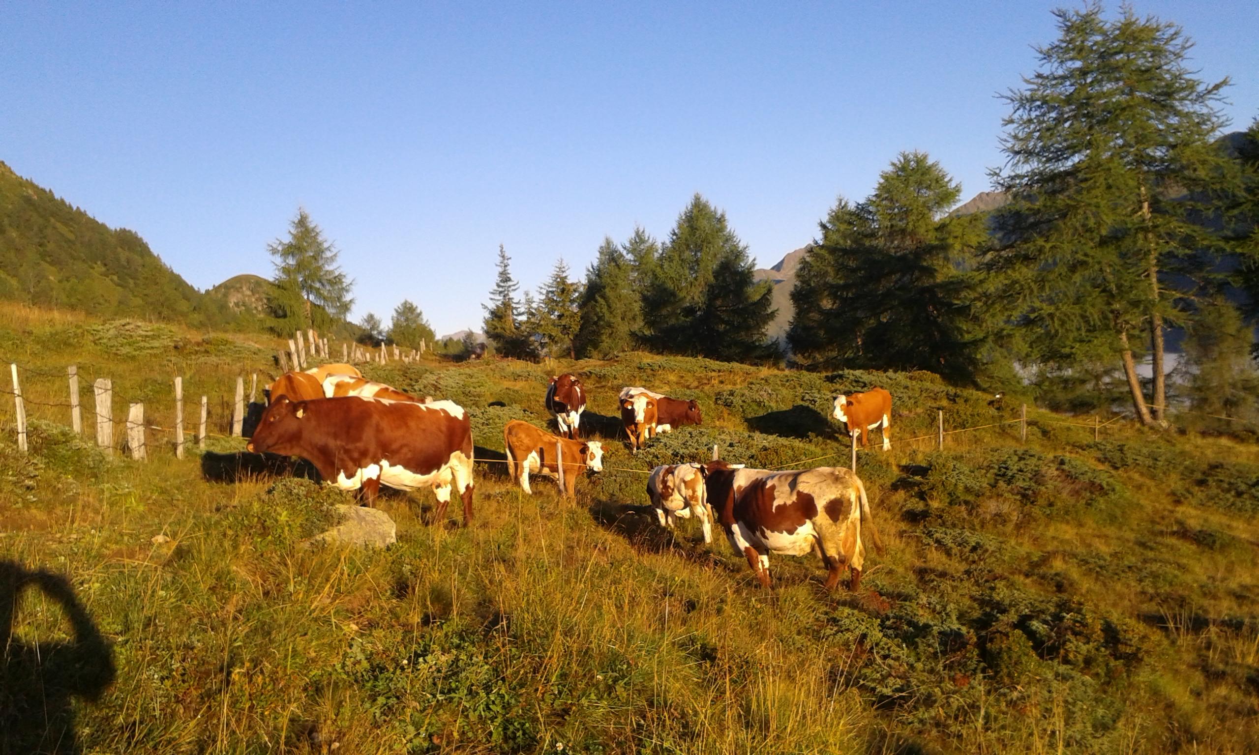 Kühe grasen auf der Weide.