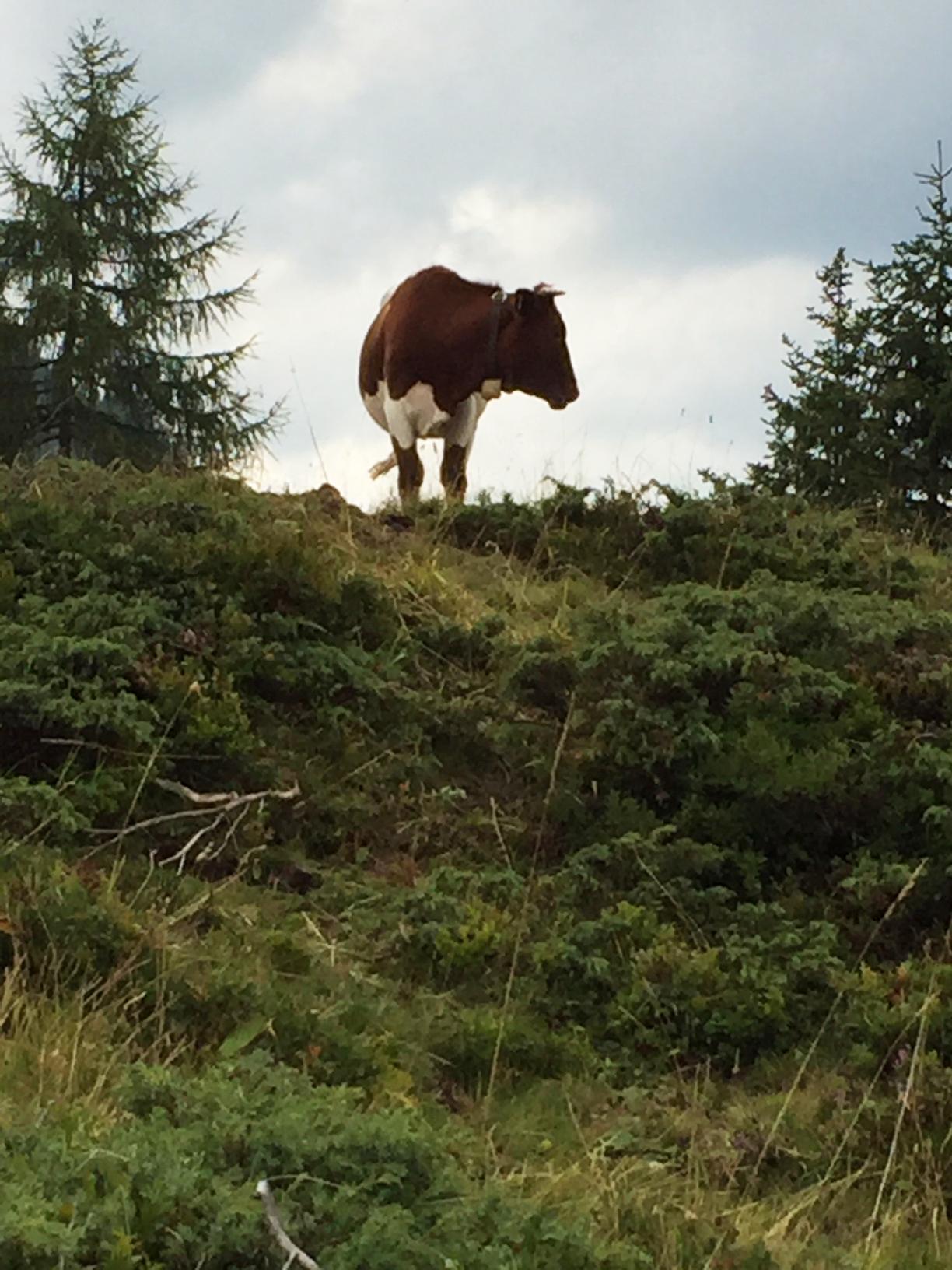Kuh auf Almweide