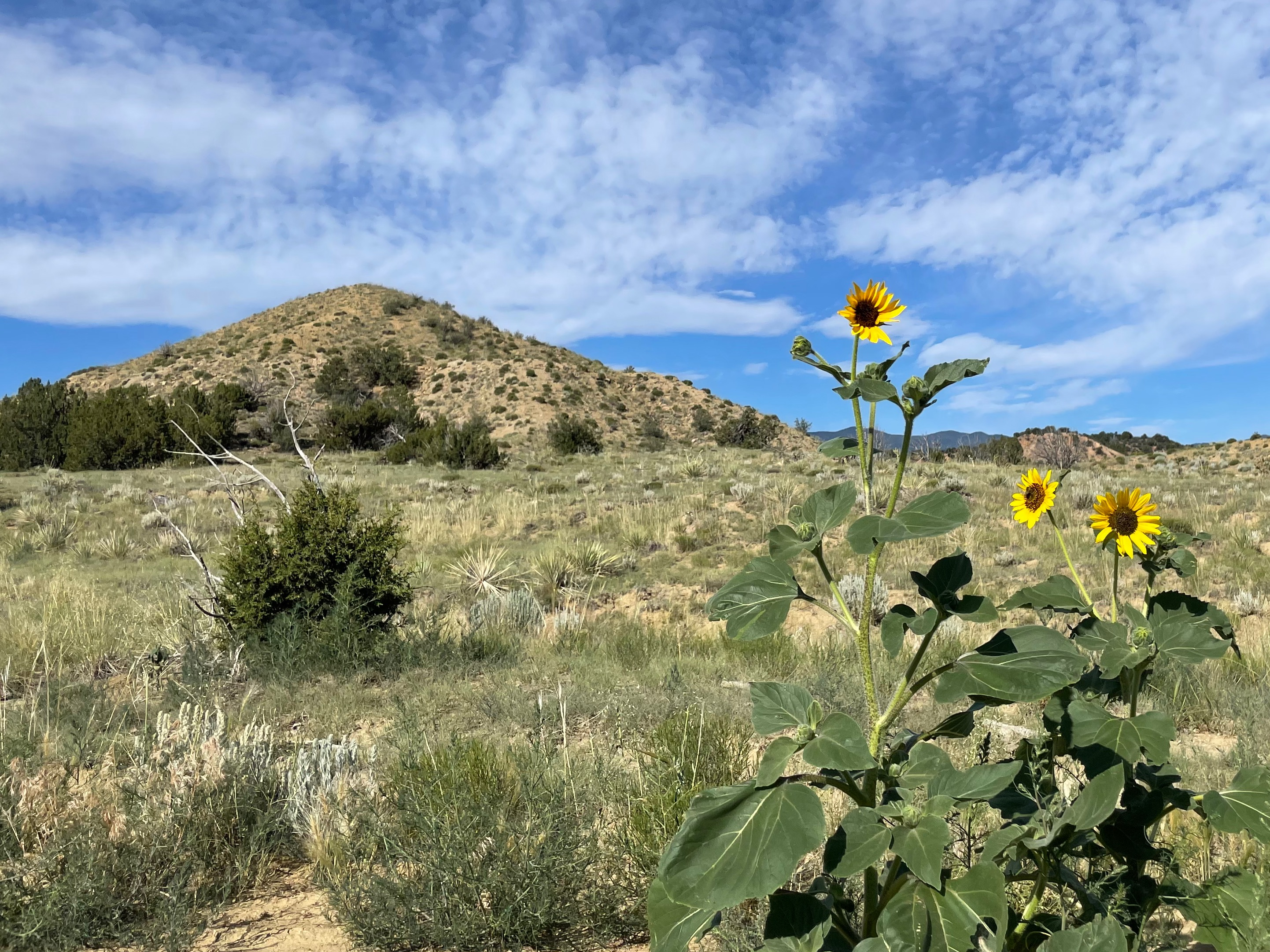 Sunflowers grow under blue sky and mountain views