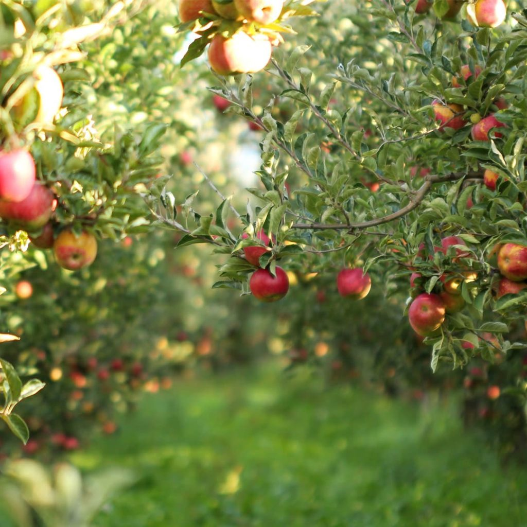 5 Best Fruit Trees For Cold Climates