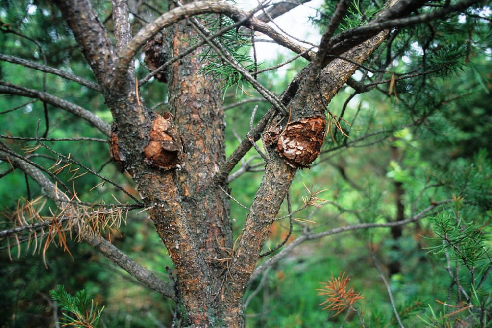 5 of the Most Common Tree Diseases of Wisconsin