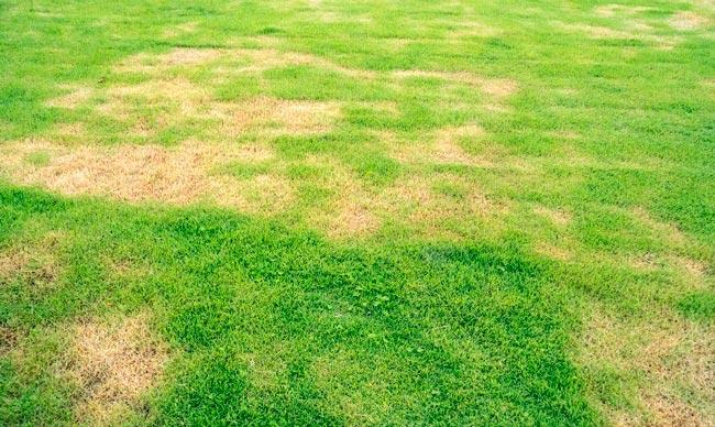 Lawn Fungus Care