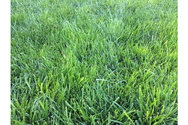 Tall fescue is a popular grass variety in Wisconsin because it survives the cold winters well.