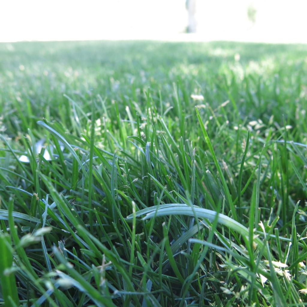 Kentucky bluegrass growing in a Wisconsin yard