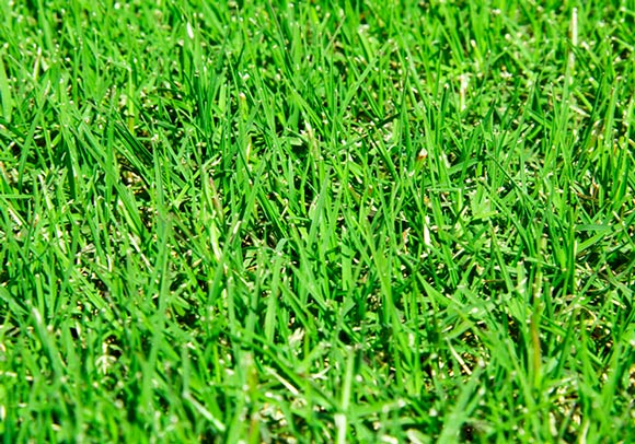 Bermudagrass is best planted in Wisconsin yards that receive plenty of sunlight.