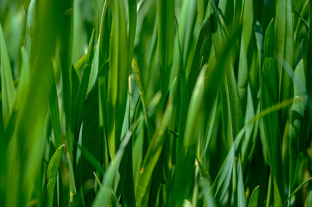 Type of Grass for Your Lawn