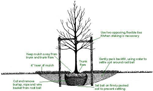 steps to transplanting a tree