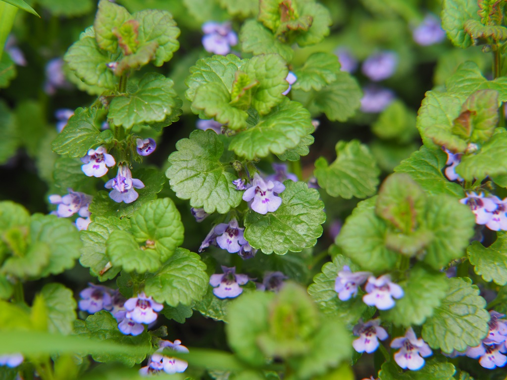 What is Ground Ivy?