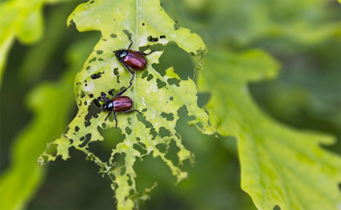 Bugs That Treat Your Garden Like A Buffet: Plant Eating Insects Of Wisconsin