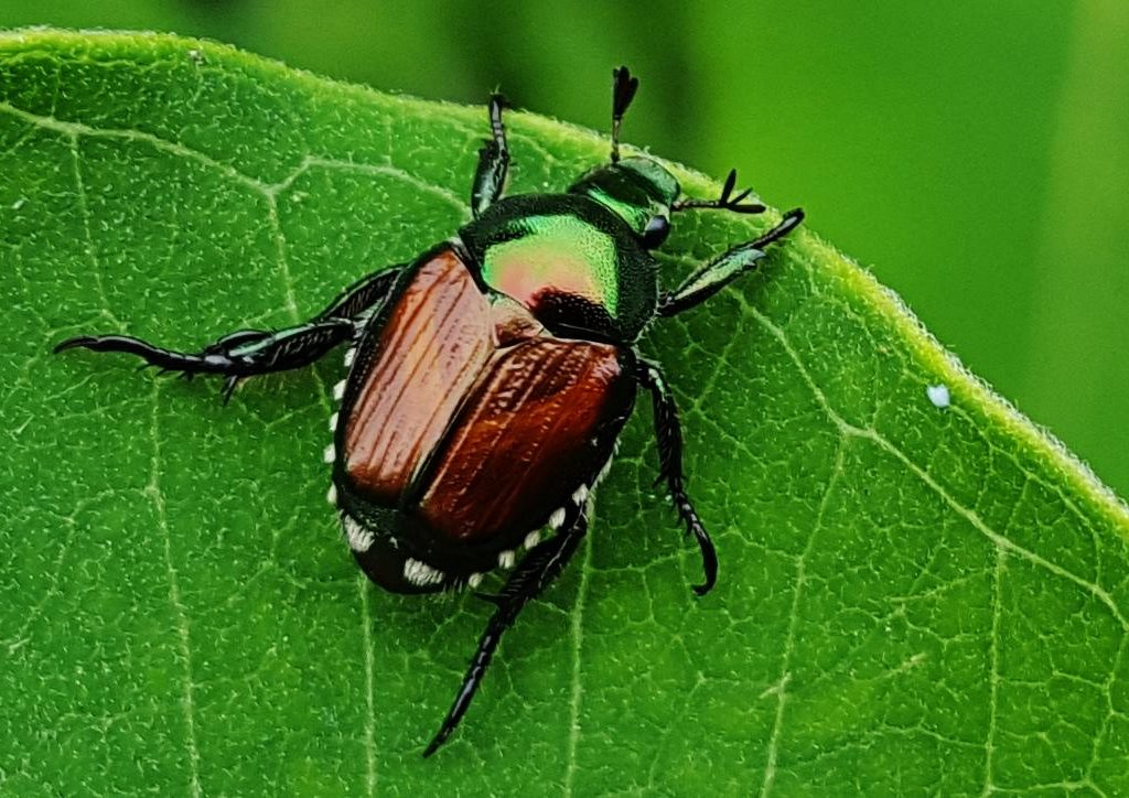 The Japanese beetle is one of the most common insects that will cause damage to your garden.