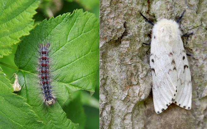 The Gypsy moth is dangerous to trees when it is in its larval stage.