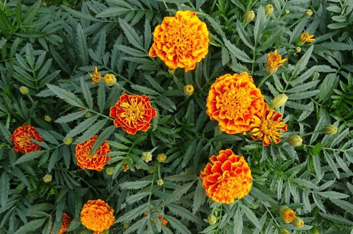 Marigolds growing in a Wisconsin garden