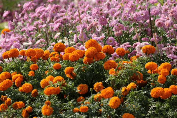 Marigolds are a deer resistant annual that can be used to bring color to Wisconsin landscapes.