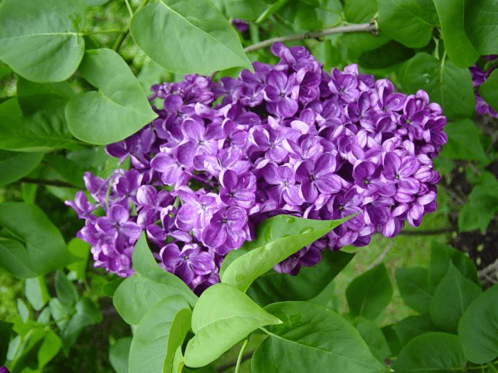 Lilac flowers grow well in Wisconsin