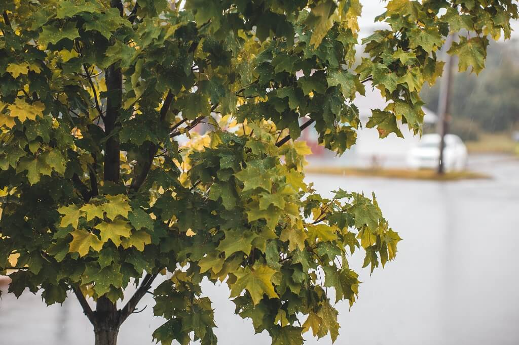 Protect Oak Trees from Wilting
