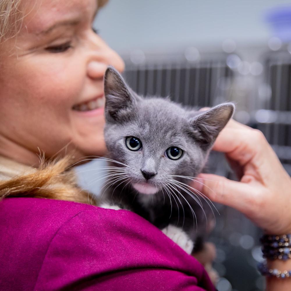Grey kitten on woman's shoulder