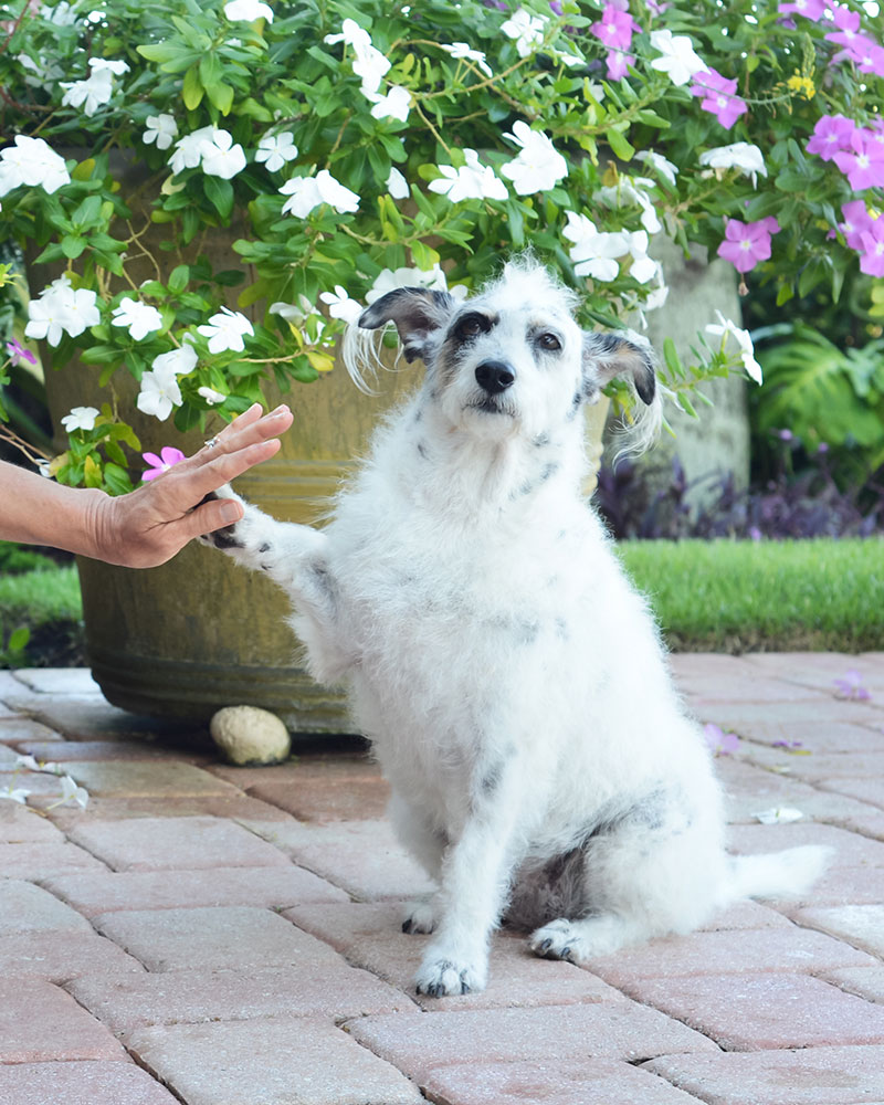 Dog high-fiving a person